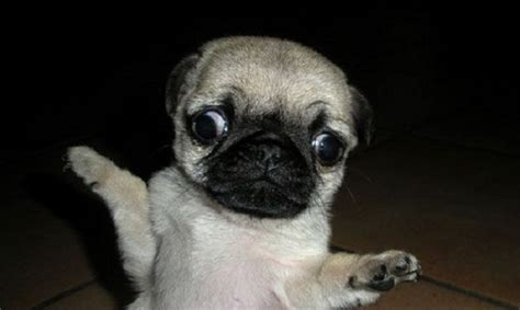 15 pugs of the day 15 pugs of the day
