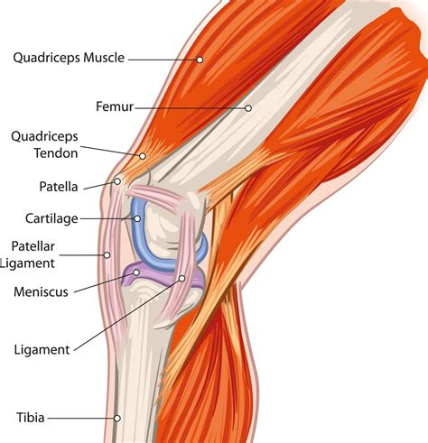 parts of knee diagram a labeled diagram of the knee with an insight into its working