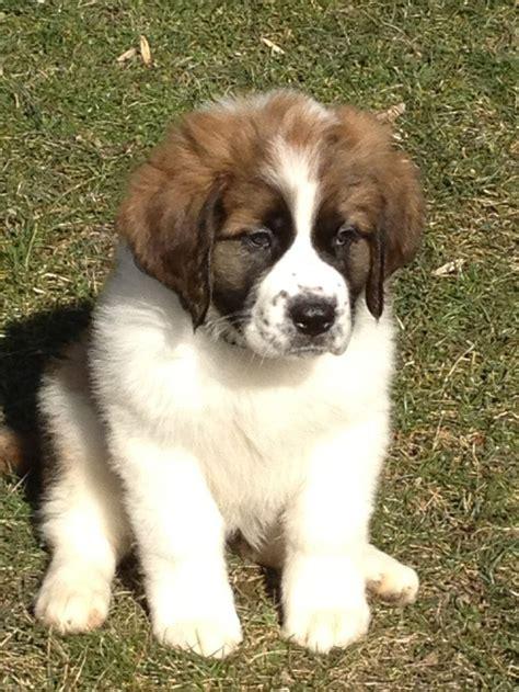 how much are bernard puppies 25 b 228 sta st bernards id 233 erna p 229 stora hundar golden retriever valpar