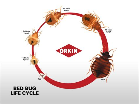 bed bugs life cycle bed bug life cycle eggs nymphs adult stages