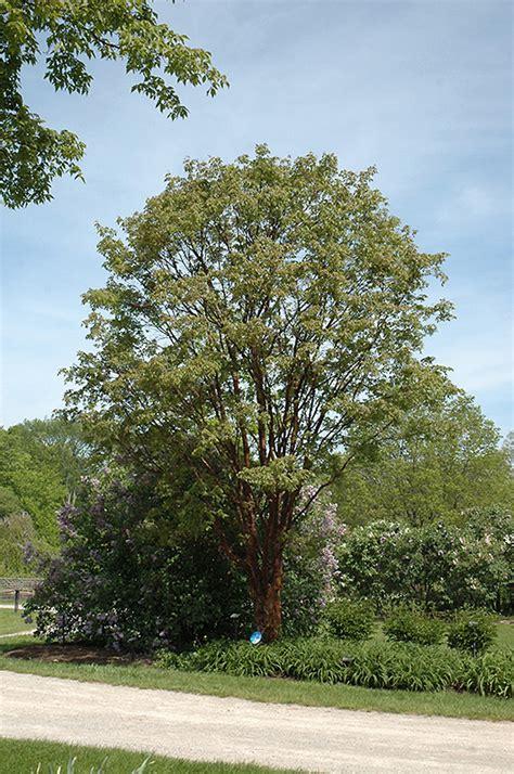 paperbark maple acer griseum  columbus dublin delaware
