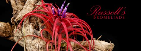 home russell s bromeliads