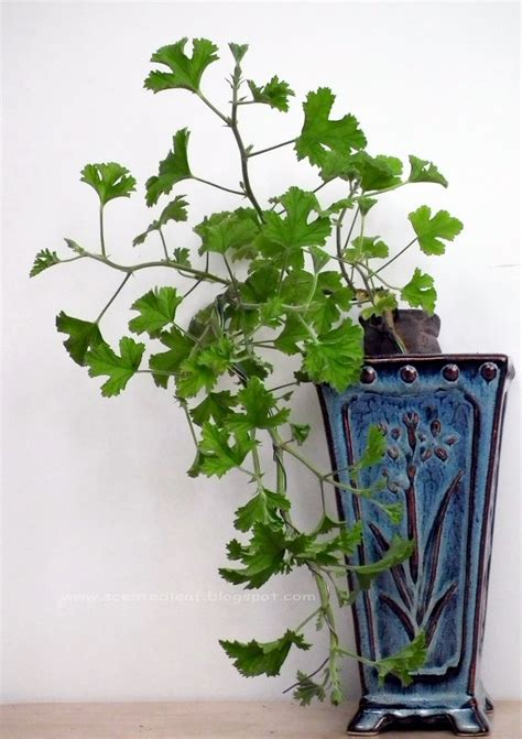 best scented geranium indoors 35 best images about pelargonium on lemon plants and pink flowers