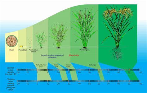 zat perangsang tumbuh  produksi padi agrokompleks kita