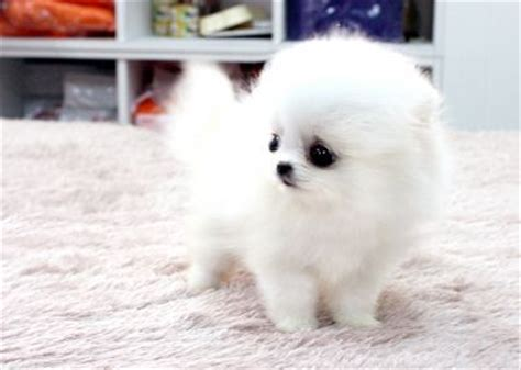 how big do teacup pomeranians grow 214 best pomeranians images on pomeranian pomeranians and adorable