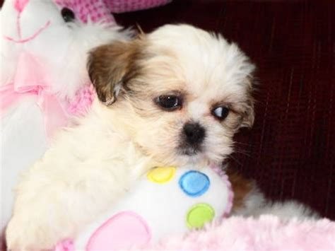 i want to buy a shih tzu puppy 1000 images about shih tzu puppies on
