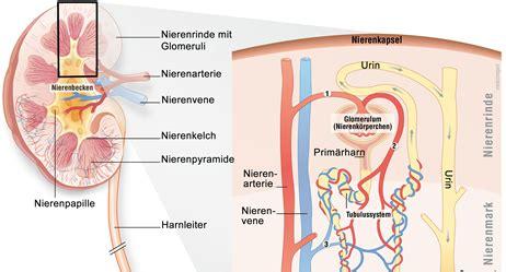 wo liegen die nieren bilder nierenbeckenentz 252 ndung apotheken umschau