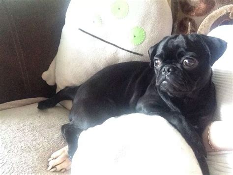 pugs for sale derby pug 1 year derby derbyshire pets4homes