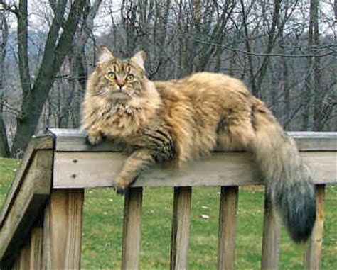 Top 10 Cat Breeds   OnlyTopTens