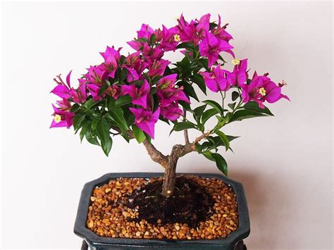 bonsai fiori come curare un bonsai da esterno fare bonsai bonsai da