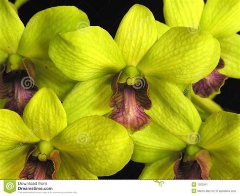 imagenes de orquideas verdes orqu 237 dea verde do dendrobium