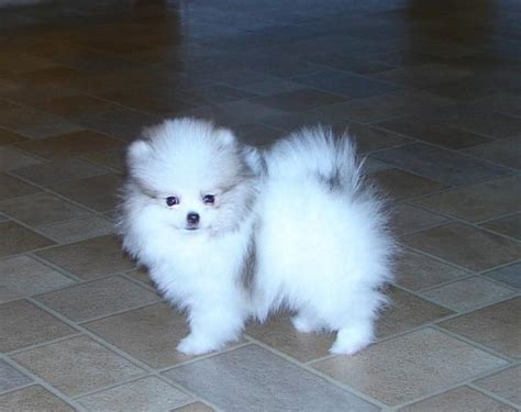 pomeranian puppies for sale wisconsin pomeranian husky puppies for sale in wisconsin myideasbedroom