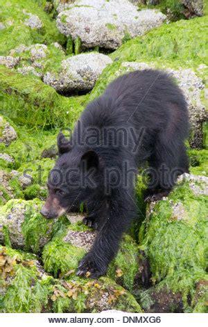 the black of pennsylvania ursus americanus classic reprint books black ursus americanus pine cone