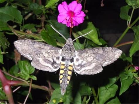 hummingbirds dont fly  dark hummingbird moths
