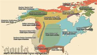 map of wolves in america arctic wolf canis lupus arctos souls wiki