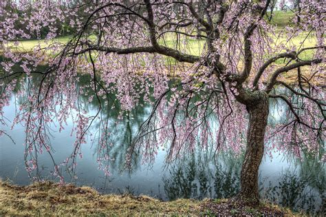 1000 images about cherry blossom on pinterest