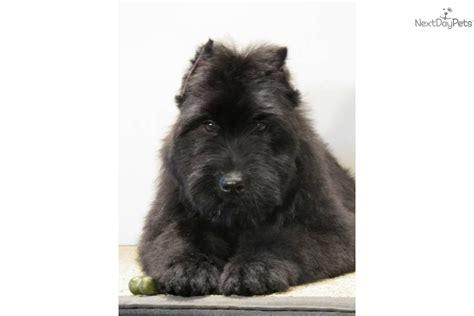bouvier des flandres puppies for sale bouvier des flandres for sale for 1 200 near southeast missouri missouri 1e11fd12 1631