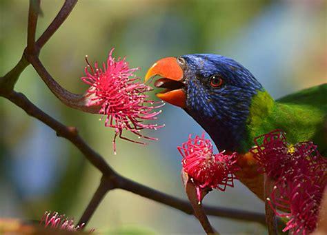 alimentazione pappagalli alimentazione pappagalli loridi e dieta nettarivora