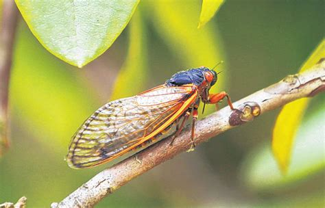 The Cicadas quoted about the cicadas aaronlee co