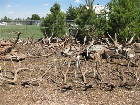 Elk Antler Shed elk antler gallery arizona antler addiction