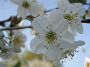 Flower Tree Pictures - file cherry tree flower close up jpg wikimedia commons