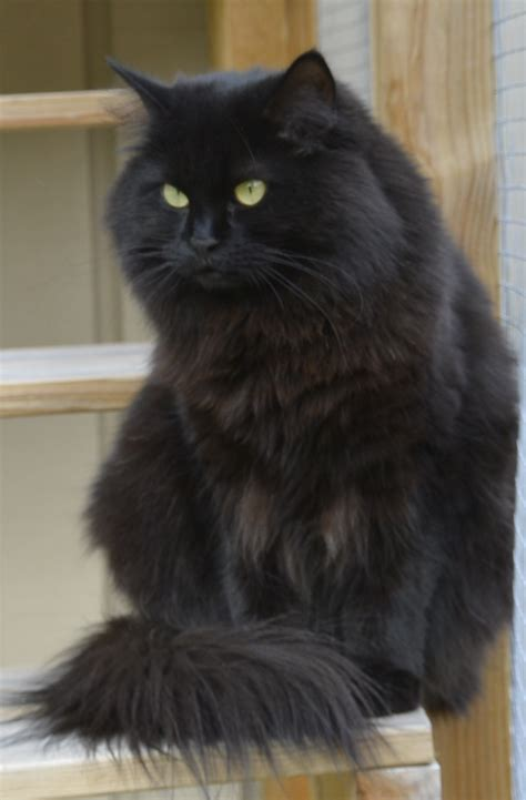 Black Lovely Cat my black siberian cat lovely kerstin things i want