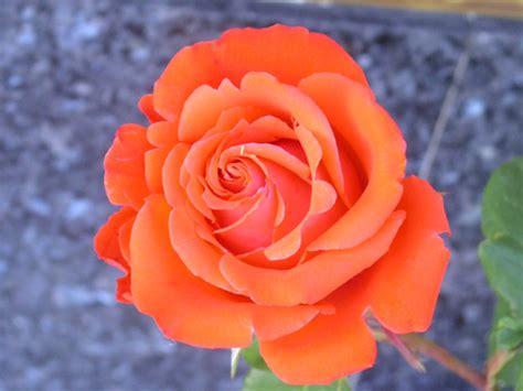 imagenes flores naranjas el sentido del saber abril 2013