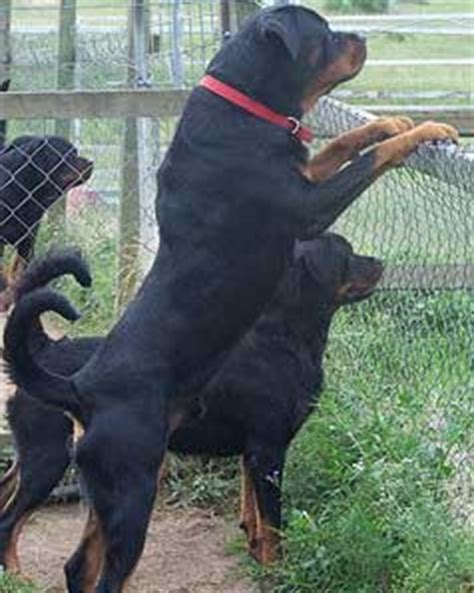 rottweiler aggression rottweiler aggression problems prevent them coalfire rottweilers