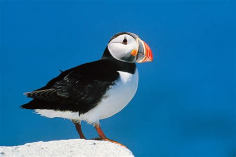 atlantic puffin wild life animal