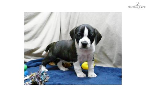 puppy hammer meet hammer boglen terrier a beagle puppy for sale for 450 hammer