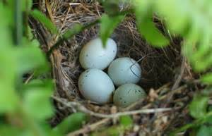 Bird lays shimmering egg that changes color discovery news