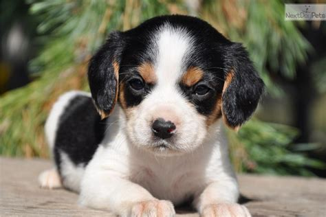 beaglier puppies beaglier puppies breeders beagliers breeds picture