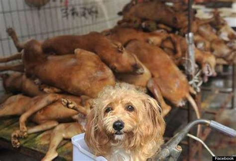 dogs in china festival in which 10 000 hounds are slaughtered will go ahead despite