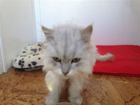 maine coon male cat for adoption keighley west