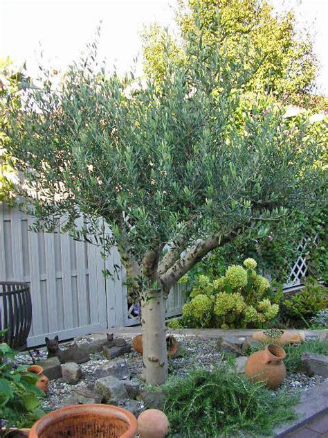 olivenbaum im garten olivenbaum olea europaea pflanzen und pflegen mein