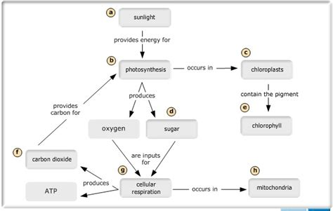 how photosynthesis yields sugar concept map biology 150 gt cbell dentler gt flashcards gt bio test 2
