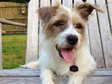 wire haired yorkie 8 best images about wire haired terrier mixed on adoption poodles and