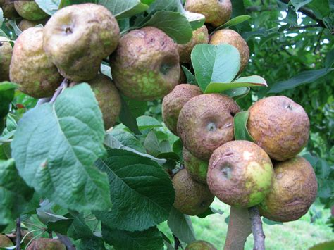 Alive Potato Brown keeping heirloom apples alive is like a chain letter many centuries wfae