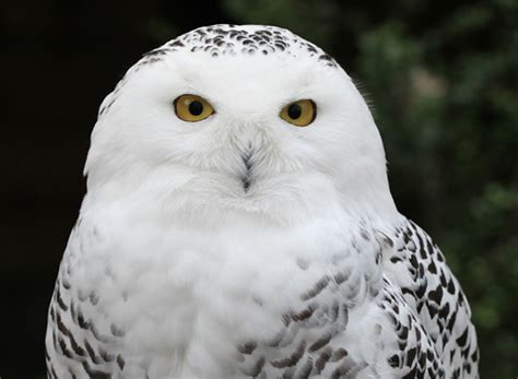 Snowy Owl Hedwig Papercraft By - hedwig chat 1 norbert s argument page 1 wattpad