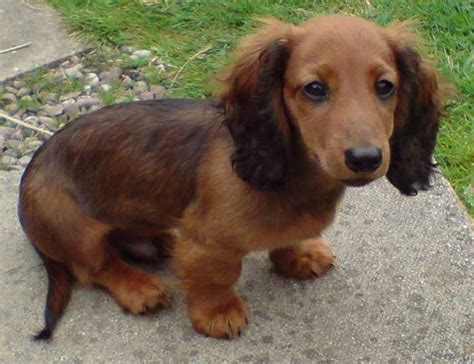 haired dachshund puppies puppy dogs haired miniature dachshund puppies