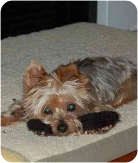yorkies in carolina adopted nc yorkie terrier