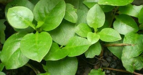 manfaat  khasiat daun binahong  kesehatan