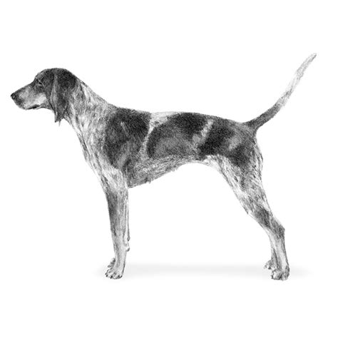 blue tick blue tick hound pitbull mix bluetick coonhound myideasbedroom