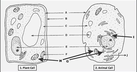 blank animal cell diagram unlabeled plant cell diagram www pixshark images