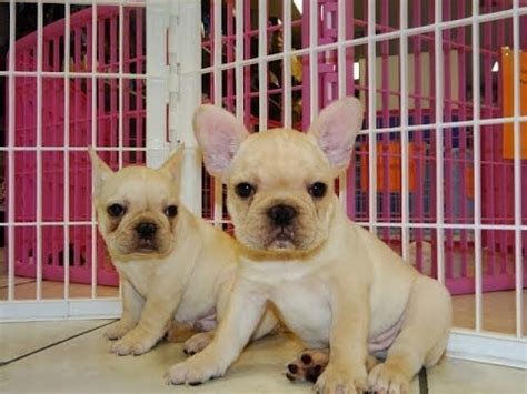 bulldog puppies for sale nc bulldog frenchie puppies dogs for sale in carolina nc