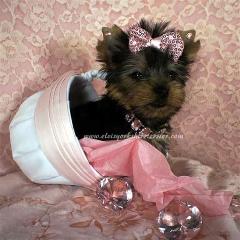 buy a teacup yorkie small yorkie for sale iris