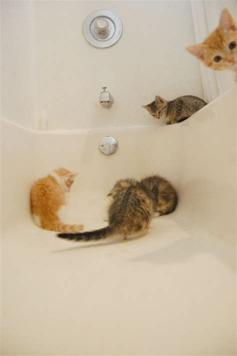 kittens in bathtub curious cats