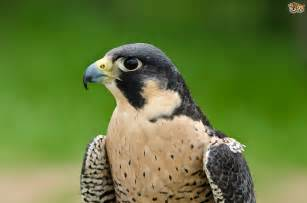 Interesting facts about peregrine falcons pets4homes