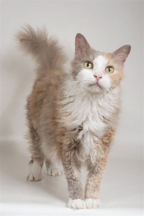 laperm cat breed information pictures characteristics