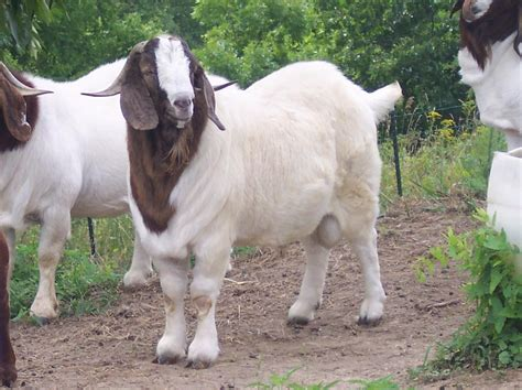 buck for sale in south africa boer goat bucks at gold strike boer goats